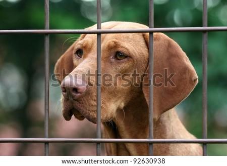 Hungarian vizsla behind fence