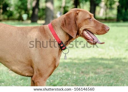 Hungarian Vizsla Dog I...