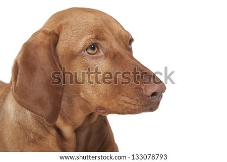 Hungarian Vizsla dog portrait.