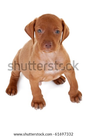 Hungarian Vizsla pointer puppy seated and looking up to the camera