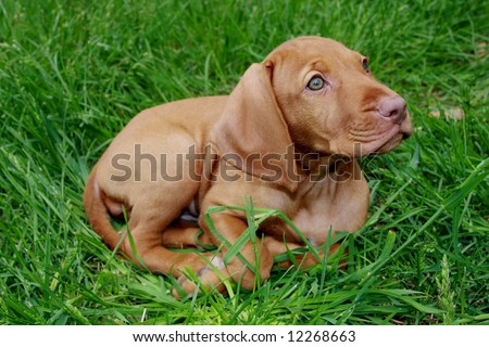 Vizsla Puppies on Vizsla Pointer Puppy Hungarian Vizsla Pointer Puppy Find Similar