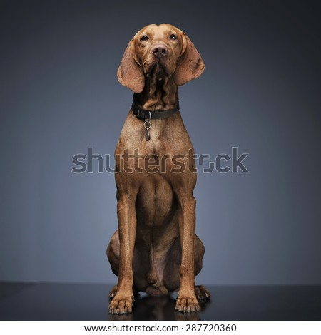 Hungarian vizsla sitting in dark background #287720360