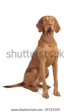 Hungarian Wire-haired Vizsla puppy isolated on white