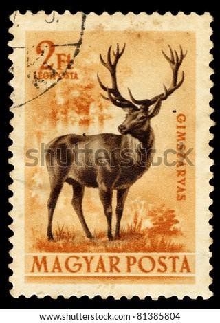 HUNGARY - CIRCA 1953: A stamp printed in Hungary shows image of Gimszarvas (Red Deer), circa 1953