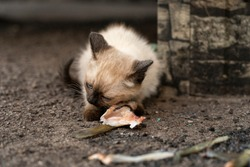hungry abandoned Siamese kitten eating raw fish on the street, concept of hungry childhood abandoned kittens and feeding stray animals, selective focus, tinted image