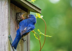 Hungry baby eastern blue bird opens mouth for more  but parent has no more food.  Open space green background