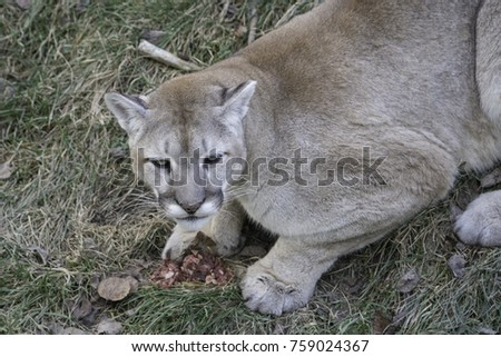 Hungry Canadian Cougar #759024367