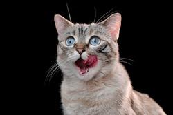 Hungry cat close-up portrait against black background