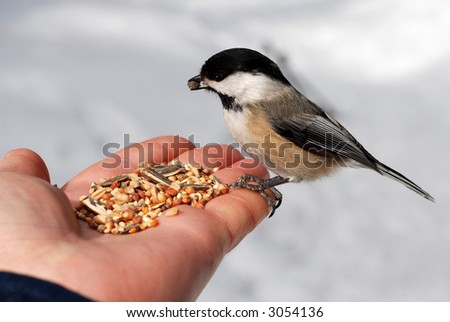 Hungry chickadee on a hand
