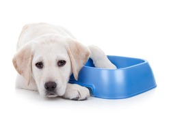 Hungry dieting Labrador puppy dog and empty food dish isolated on white with copy space