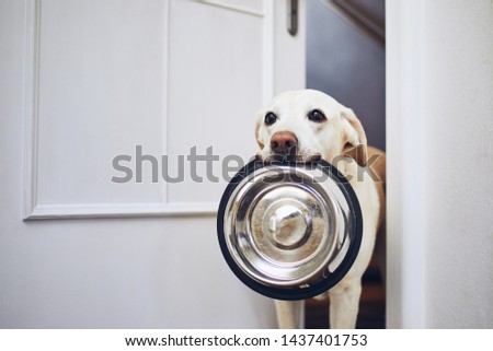 Hungry dog with sad eyes is waiting for feeding. Adorable yellow labrador retriever is holding dog bowl in his mouth.