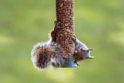 Hungry eastern gray squirrel hanging from a garden seed bird feeder acrobatically eating nuts