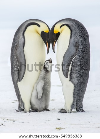 Hungry Emperor Penguin chick between Parents