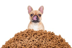 hungry french bulldog dog behind a big mound  of food , isolated on white background licking with tongue
