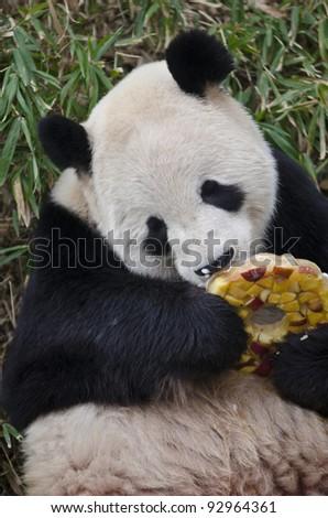 Hungry giant panda bear eating