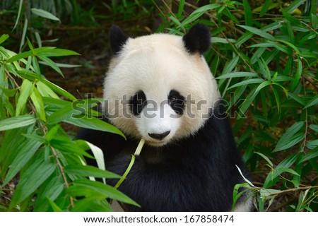 Hungry giant panda bear eating bamboo at Chengdu, China