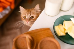 Hungry ginger cat is under the table with food, cheese, milk