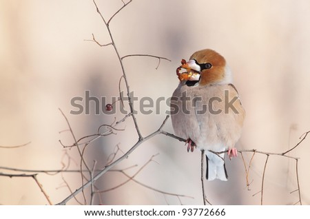 Hungry Hawfinch (Coccothraustes coccothraustes)