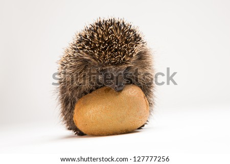 Hungry hedgehog sniffing and eating a kiwi fruit