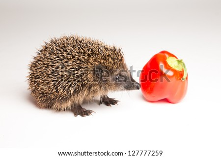 Hungry hedgehog sniffing at bell pepper