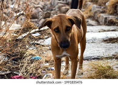 Stock photo of hungry and innocent brown color street dog roaming on the street and looking at the camera at Chittapur , Karnataka India.