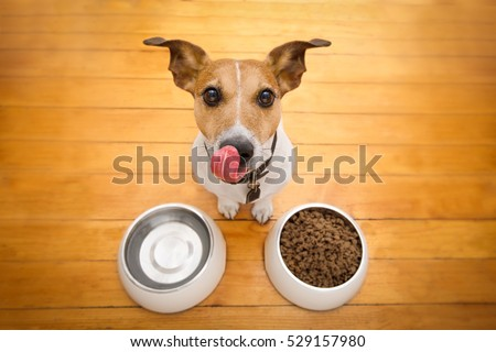 hungry  jack russell  dog behind food bowl and licking with tongue, isolated wood background at home and kitchen