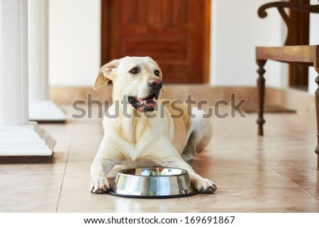 Hungry labrador with empty bowl is waiting for food