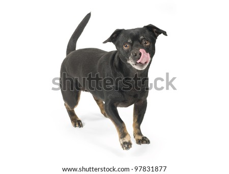 Hungry little dog licking with tongue
