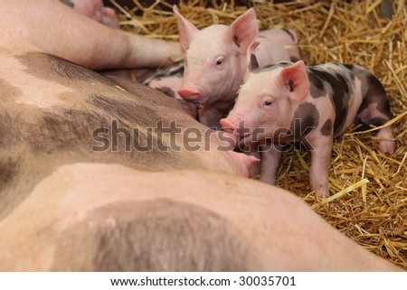 Hungry little pigs