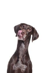 Hungry pointer dog vertical portrait
