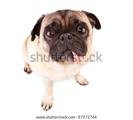 Hungry pug dog isolated on white background
