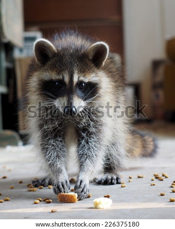 Hungry Raccoon