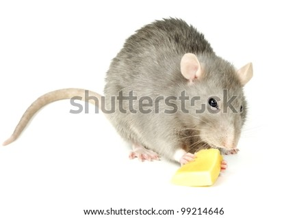 Hungry rat eating yellow cheese, on a white background