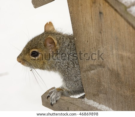 Hungry squirrel seeking food after snow storm in the bird feeder - stock photo
