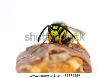 hungry wasp sitting on a piece of chocolate