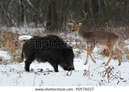 Hungry  wild boar with a fallow buck - stock photo
