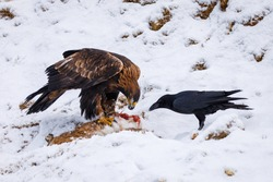 Hunter with caught prey. Golden eagle, Aquila chrysaetos, tears killed hare. Raven, Corvus corax, tries to steal eagle's prey. Birds in snowy mountains. Wild nature. Hungry predators. Winter wildlife.