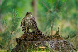 Hunter with caught prey. Northern sparrowhawk, Accipiter nisus, perched on stump in green forest and feeds on killed quail. Raptor in wild nature. Successful hunter in habitat. Habitat Europe, Asia.