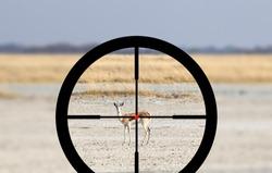 Hunting a Common Impala (Aepyceros melampus) - Crosshairs