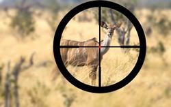 Hunting a female greater Kudu in Namibia (Tragelaphus strepsiceros)