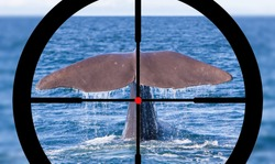 Hunting a Sperm Whale in the Atlantic ocean