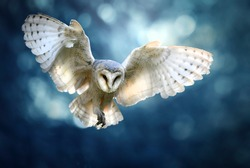Hunting Barn Owl in flight.  Wildlife scene from wild forest. Flying bird tyto alba.