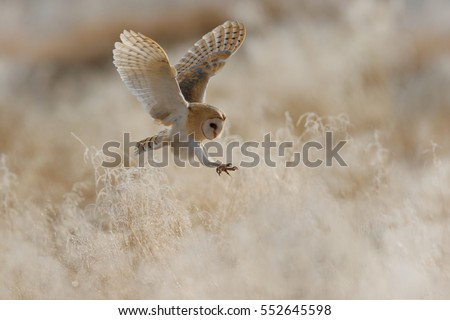 Hunting Barn Owl in morning nice light. Wildlife scene from wild nature. Morning light image with owl. Flying bird above the meadow, United Kingdom.