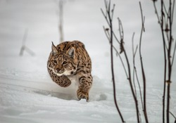 Hunting Carpathian Lynx (Lynx lynx)