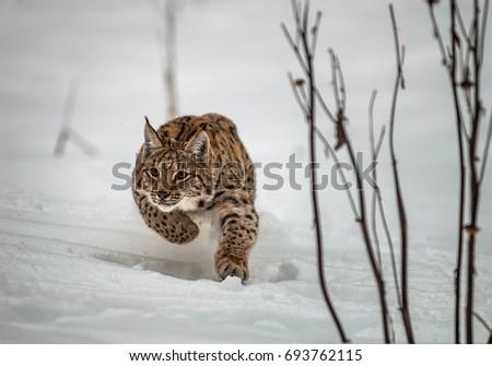 Hunting Carpathian Lynx (Lynx lynx) #693762115