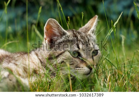 Hunting cat in summer afternoon