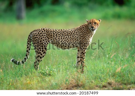 Hunting cheetah in Kruger park South Africa