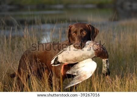 Hunting Chocolate Labrador Retriever #39267016