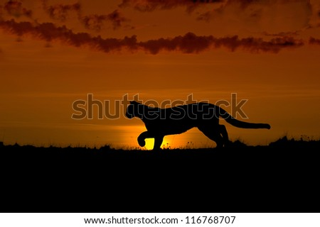 Hunting cougar silhouette. Dawn in North Dakota Badlands