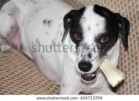 Hunting dog A hunting dog refers to a canine that hunts with or for humans. There are several types of hunting dogs developed for various tasks. #634713704